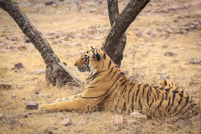 Tiger, Ranthambhore Tiger Reserve, National Park, Rajasthan, India