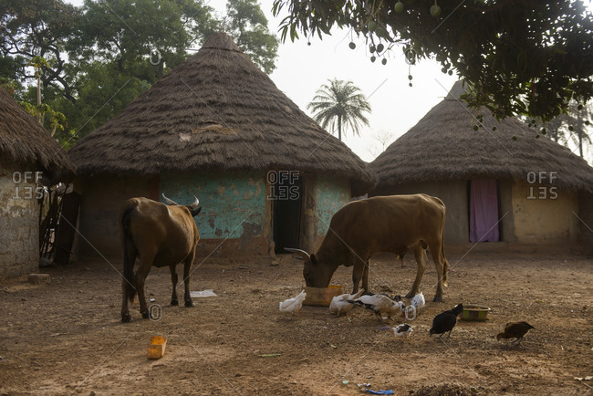 Horses in typical village life in Guinea