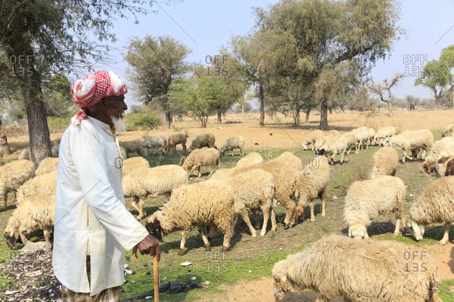 February 7,  2016: Shepherd and flock, Nawalgarh, Rajasthan, India