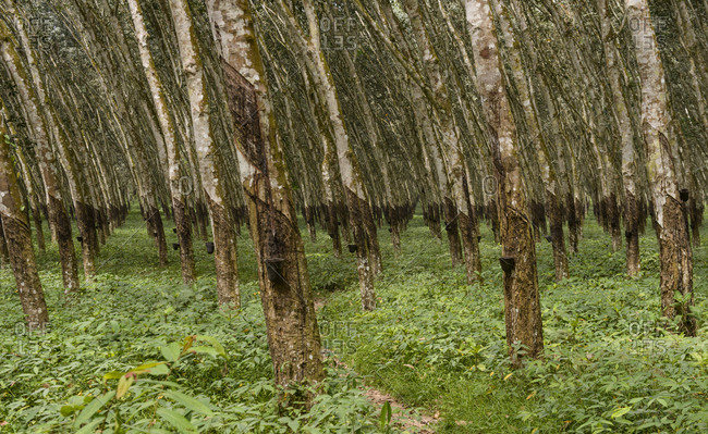 Rubber tree plantations. Ivory Coast