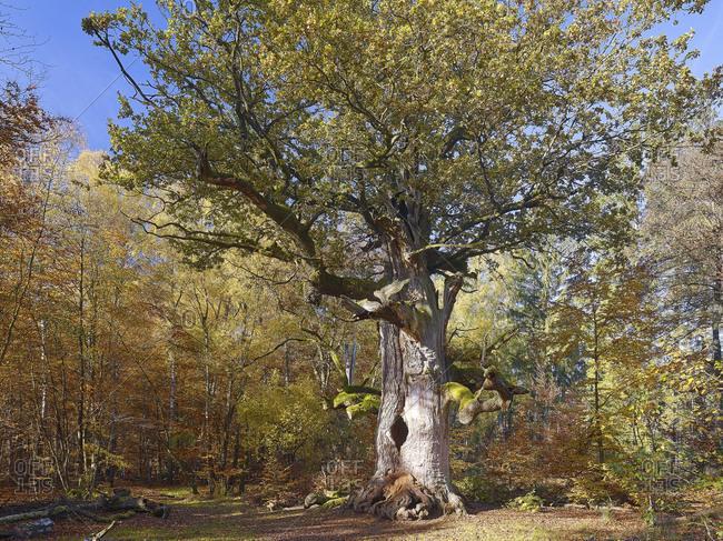 Fireplace oak in the nature reserve Jungle Forest Sababurg, Hofgeismar, Hesse, Germany