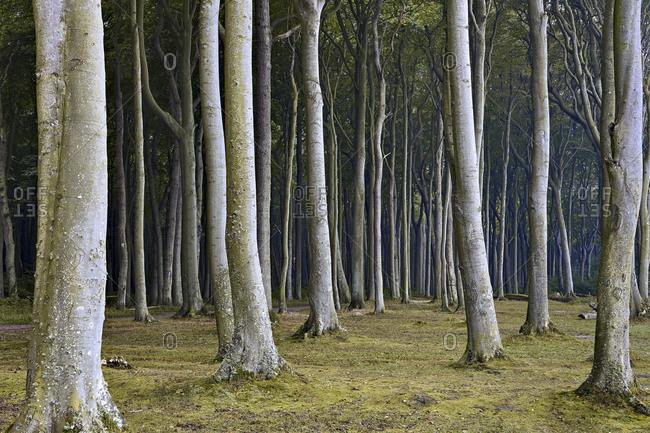 Ghost Forest Nienhagen, Ostseebad Nienhagen, Mecklenburg-Vorpommern, Germany