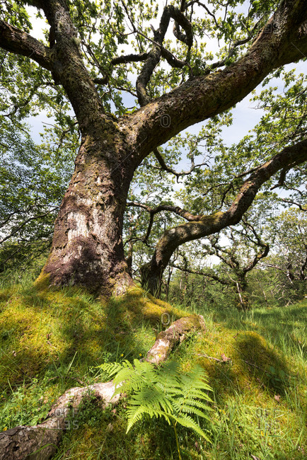 Forest with gnarled trees, Isle of Skye, Scotland, England, United Kingdom, Europe Forest with branching trees, Isles of Skye, Scotland, England, UK, Europe