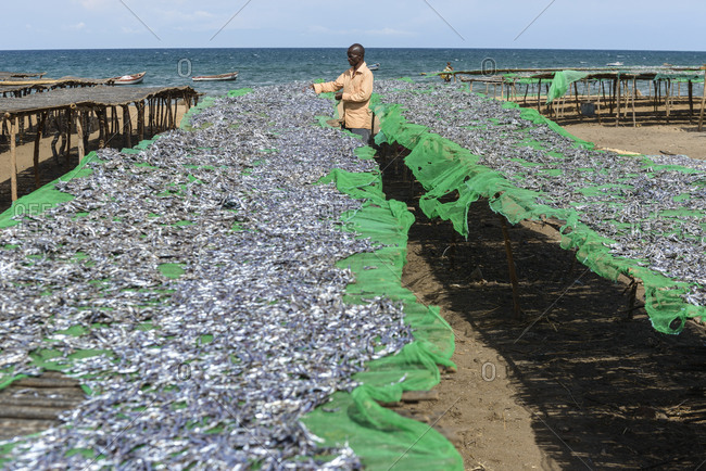 November 22,  2014: Man lays out fish to dry at a fish market on Lake Malawi,  Malawi,  Africa. Man spread out fishes for an open-air fish market at Lake Malawi,  Malawi,  Africa