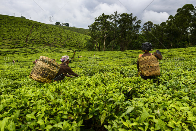 Tea pickers on a tea plantation near Mbeya,  Tanzania,  Africa Tea pickers on a tea plant near Mbeya,  Tanzania,  Africa