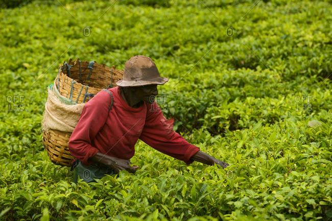 November 20,  2014: Tea pickers on a tea plant near Mbeya, Tanzania, Africa