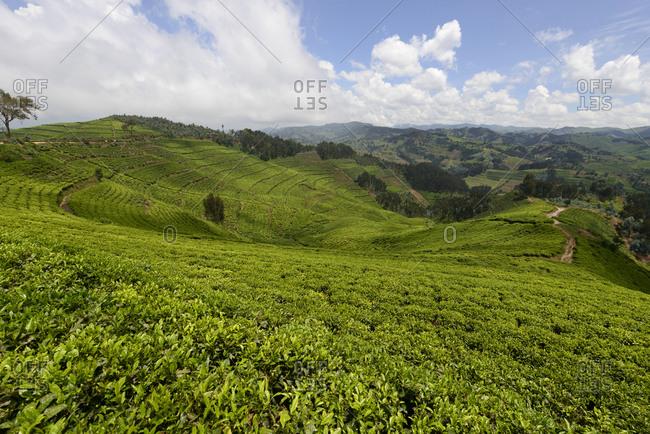 Tea plantations of western Rwanda, Africa