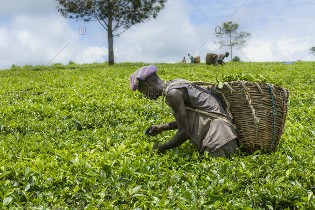October 16,  2014: Tea pickers near Fort Portal in Uganda, Africa Tea collectors near Fort Portal in Uganda, Africa