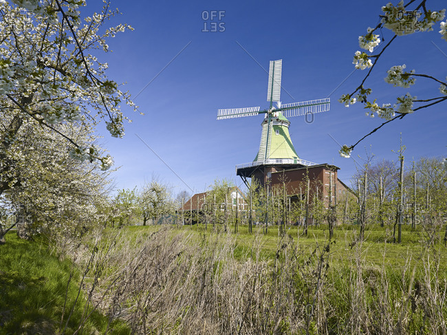 Windmill Venti Amica in Twielenfleth with cherry blossom, Altes Land, Landkreis Stade, Lower Saxony, Germany, Europe