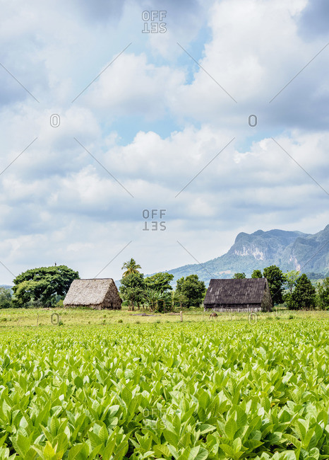Tobacco Plantation at Vinales Valley, UNESCO World Heritage Site, Pinar del Rio Province, Cuba