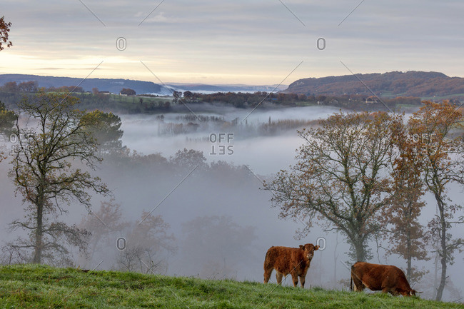 Limousin cows graze in the valley opposite Curemonte village, Curemonte, Correze, Nouvelle-Aquitaine, France