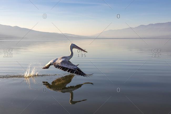 A Dalmatian pelican flies across lake Kerkini, Lake Kerkini National Park, Serres, Greece