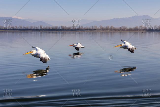 Three Dalmatian pelicans fly on Lake Kerkini, Lake Kerkini National Park, Serres, Greece