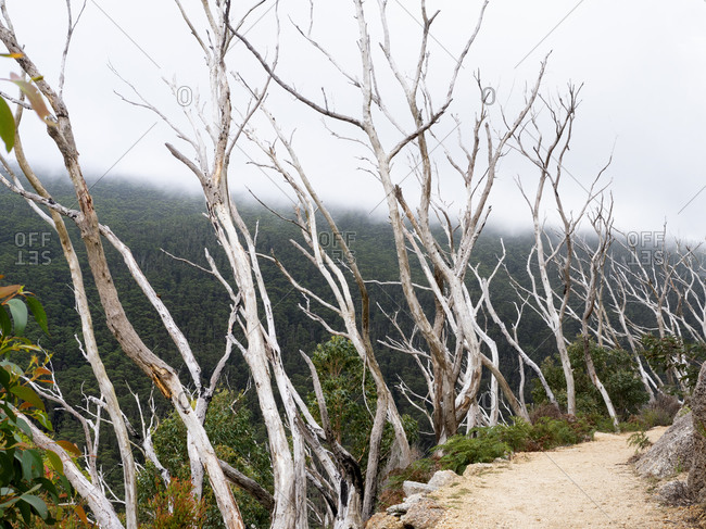 Row of bare treetops alongside path above rural valley, Wilson's Promontory National Park, Victoria, Australia