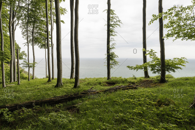 Seascape through clifftop trees, Jasmund National Park, Sassnitz, Rugen, Mecklenburg-Vorpommern, Germany