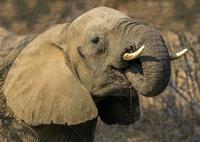 African elephant by drinking, side view, Kruger National Park, South Africa