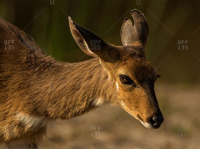 Bushbuck, head and shoulder side view, Kruger National Park, South Africa