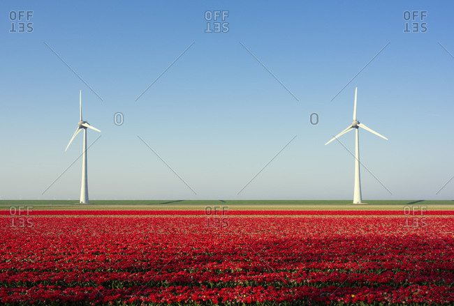 Red bulb fields in spring, wind turbines on a dyke in background, Nagele, Flevoland, Netherlands