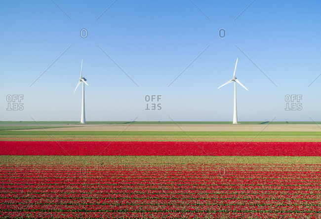 Wind turbines on dyke, fields with tulips in the foreground, elevated view, Top, Flevoland, Netherlands