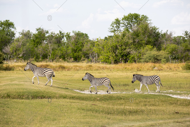 A group of Burchell's zebra at a game reserve