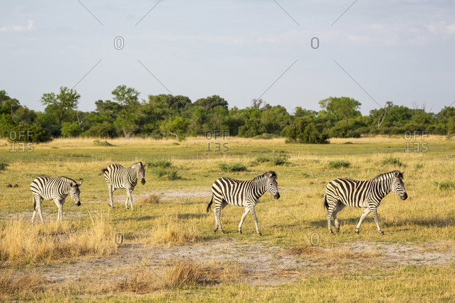 Four Burchell's Zebra on dry grassland.