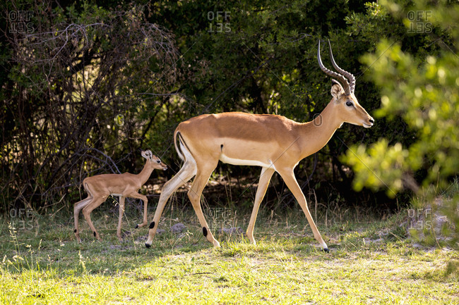 An impala and young calf, Aepyceros melampus on the edge of woodland.
