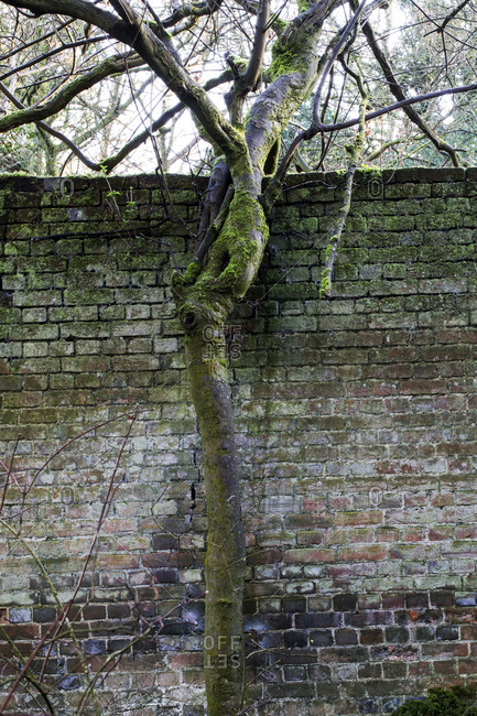Close up of tree growing in front of old brick wall overgrown with moss.