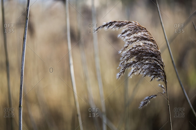Close up of blade of feathery wild grass.