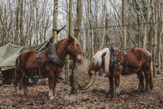 Two brown work horses standing in a forest, eating hay.