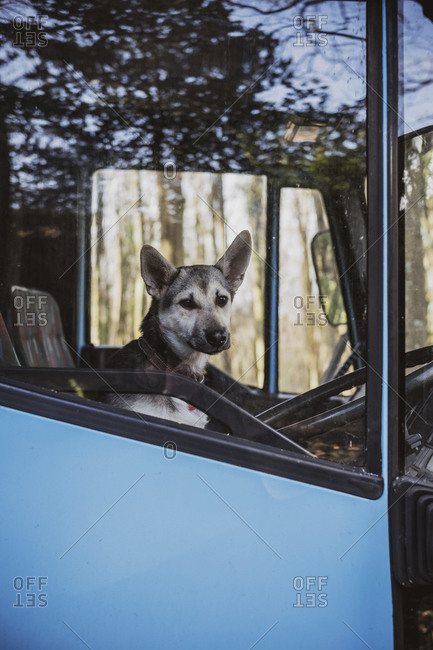 Close up of dog sitting on driver's seat of a blue horse trailer.