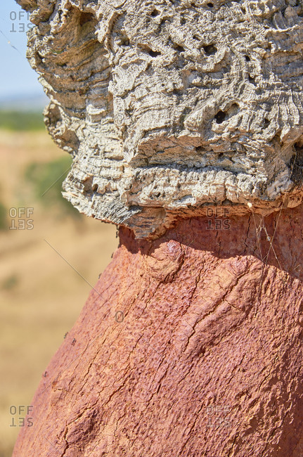 Cork oak (Quercus suber) in the Alentejo region, Portugal