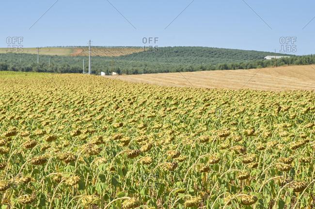 A sunflower field on a sunny day near Aljustrel in the Alentejo Region of Portugal
