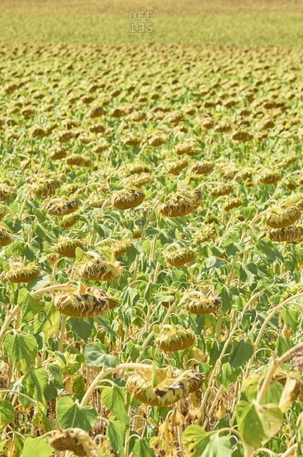 Sunflowers in a field on a sunny day near Aljustrel in the Alentejo Region of Portugal
