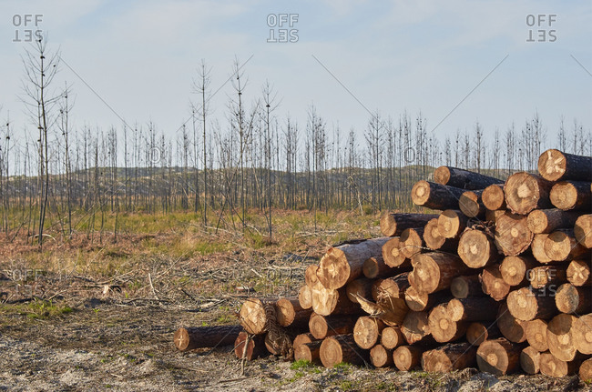 Deforestation by logging industry showing piles of cut logs from pine forest in Portugal