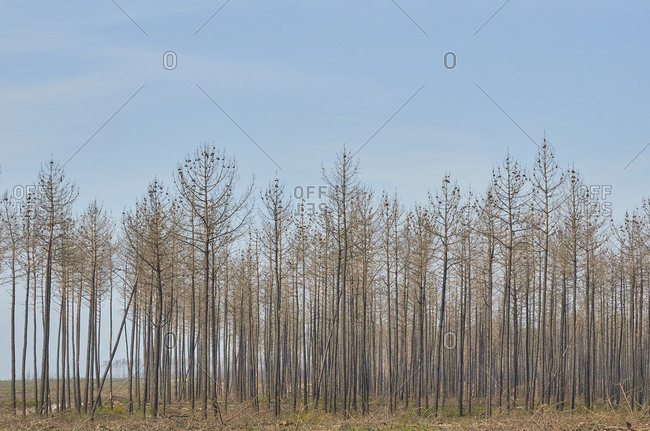 Pine trees in the forest for deforestation in Portugal
