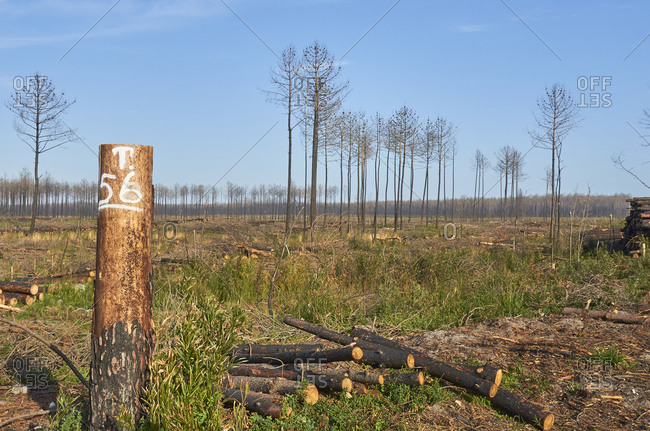 Cut trees in a pine forest for deforestation in Portugal