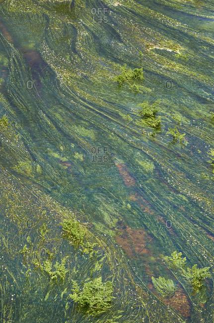 Green aquatic plants, River Tavora, Ponte do Abade, Portugal