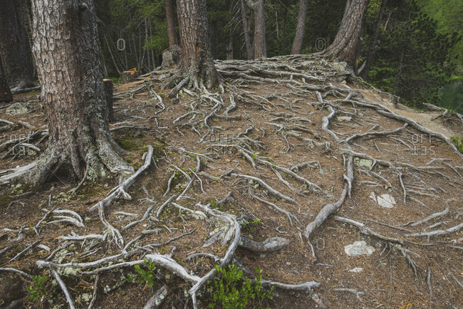 Switzerland, Bravuogn, Palpuognasee, Pine trees and roots in forest
