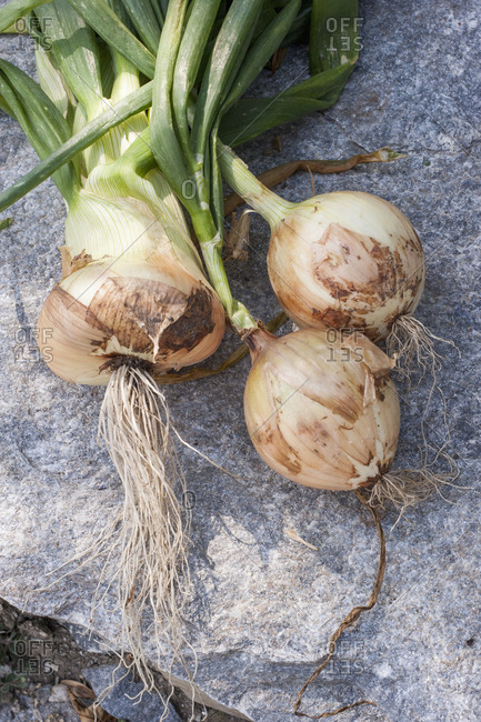 Overhead view of onion with greens on a counter