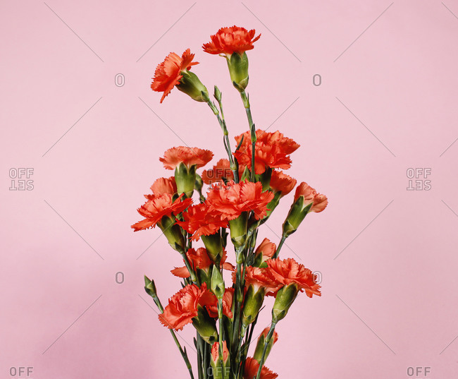 Carnation bouquet flowers with pink background