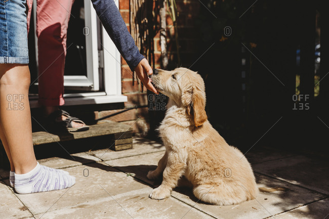 Cute golden retriever labrador puppy sitting licking child's hand