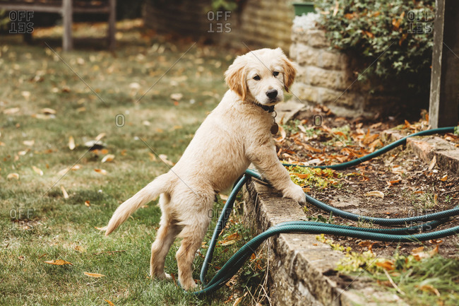 Golden retriever labrador puppy standing up on wall looking at camera