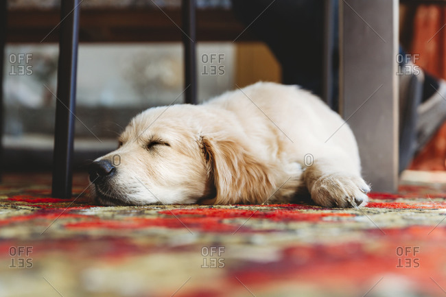 Low angle view of golden retriever labrador puppy dog sleeping