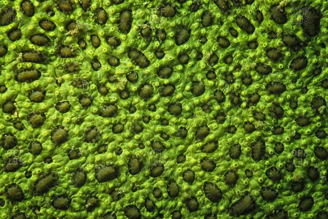 An electric green sponge encrusting a darker green coral, Madagascar.