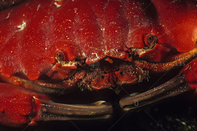 A closeup of a red rock crab face, Madagascar.