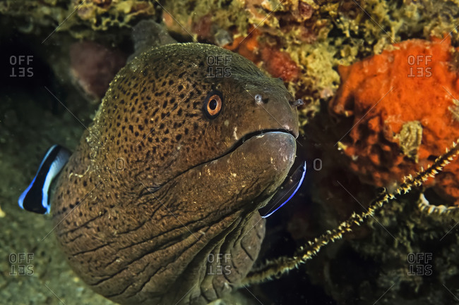 A Giant  Moray eel being cleaned by a wrasse and a two-stripe blenny
