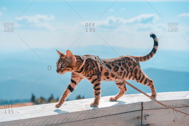 Young Bengal cat on a leash