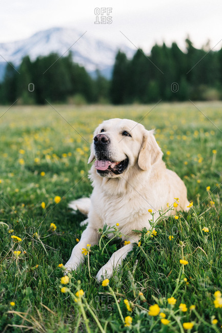 Golden retriever lies on green grass in the background of mountains