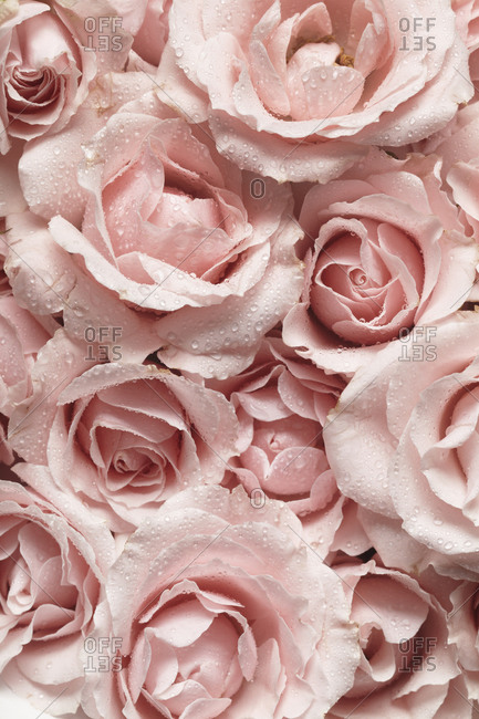 Bouquet of Pink Roses with Droplets Up-close