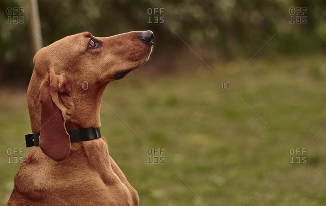 Dachshund dog looking up outside